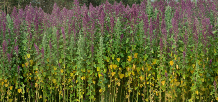 Versatile quinoa – perfect Peruvian protein