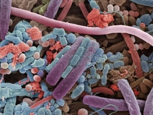 The influence of gut bacteria on obesity